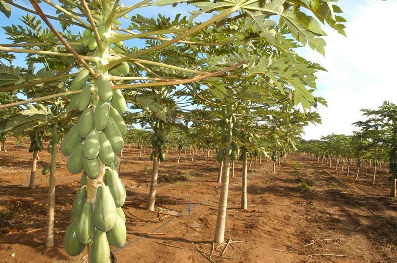 Cultivo do mamão é opção para garantir mais uma fonte de renda para os produtores do Estado